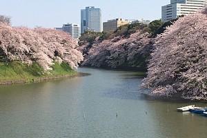 桜満開ver2
